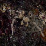 granchio ragno 43 150x150 Inachus phalangium, Granchio ragno di mare