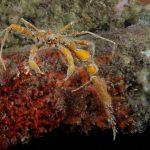 granchio ragno 44 150x150 Inachus phalangium, Granchio ragno di mare
