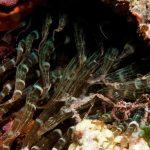 granchio ragno dimare 10 150x150 Inachus phalangium, Granchio ragno di mare