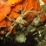 granchio ragno dimare 16 150x150 Inachus phalangium, Granchio ragno di mare