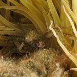 granchio ragno dimare 70 150x150 Inachus phalangium, Granchio ragno di mare