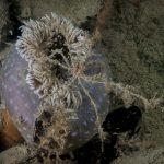 granchio ragno zampelunghe 55 150x150 Macropodia longirostris   Granchio zampelunghe