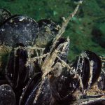granchio zampelunghe 15 150x150 Macropodia longirostris   Granchio zampelunghe