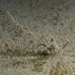 granchio zampelunghe 32 150x150 Macropodia longirostris   Granchio zampelunghe