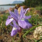 iris azzurro 01 150x150 Iris azzurro