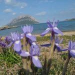 Iris azzurro