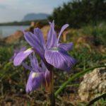 iris azzurro 04 150x150 Iris azzurro