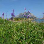 iris azzurro 07 150x150 Iris azzurro