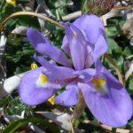 iris azzurro 08 150x150 Iris azzurro