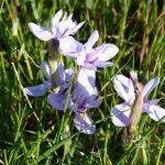 iris azzurro 09 150x150 Iris azzurro