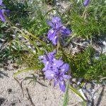 iris azzurro 11 150x150 Iris azzurro