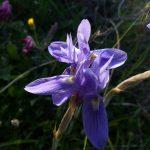 iris azzurro 18 150x150 Iris azzurro