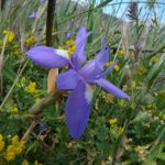 iris azzurro 20 150x150 Iris azzurro