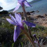 iris azzurro 23 150x150 Iris azzurro