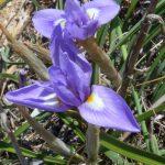 iris azzurro 25 150x150 Iris azzurro