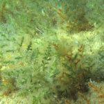 laurencia 12 150x150 Laurencia obtusa   Alga laurencia