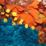 leptopsammia 10 150x150 Leptopsammia pruvoti   Madrepora gialla leptopsammia