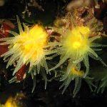 Leptopsammia pruvoti - Madrepora gialla leptopsammia