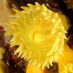 leptopsammia 45 150x150 Leptopsammia pruvoti   Madrepora gialla leptopsammia