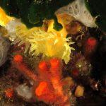 leptopsammia 46 150x150 Leptopsammia pruvoti   Madrepora gialla leptopsammia