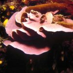 lichene marino 02 150x150 Lithophyllum stictaeforme   Lichene marino