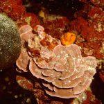 lichene marino 04 150x150 Lithophyllum stictaeforme   Lichene marino