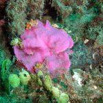 lichene marino 05 150x150 Lithophyllum stictaeforme   Lichene marino