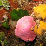 lichene marino 11 150x150 Lithophyllum stictaeforme   Lichene marino