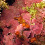 lichene marino 12 150x150 Lithophyllum stictaeforme   Lichene marino