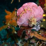lichene marino 14 150x150 Lithophyllum stictaeforme   Lichene marino
