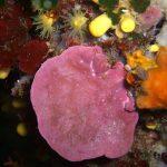 lichene marino 15 150x150 Lithophyllum stictaeforme   Lichene marino