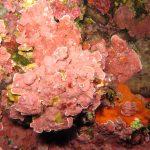 lichene marino 17 150x150 Lithophyllum stictaeforme   Lichene marino