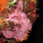 lichene marino 23 150x150 Lithophyllum stictaeforme   Lichene marino