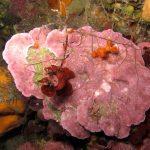 lichene marino 24 150x150 Lithophyllum stictaeforme   Lichene marino