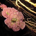 lichene mesofillo 20 150x150 Lichene mesofillo espanso