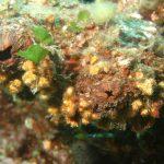 limone di mare 02 150x150 Ascidia limone di mare