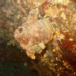 limone di mare 09 150x150 Ascidia limone di mare