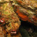limone di mare 14 150x150 Ascidia limone di mare