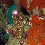 limone di mare 16 150x150 Ascidia limone di mare