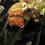 limone di mare 19 150x150 Ascidia limone di mare