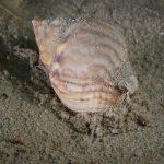 lumachino di mare 07 150x150 Lumachino di mare