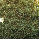 madrepora cuscino 15 150x150 Cladocora caespitosa   Madrepora cuscino