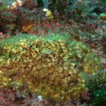 madrepora cuscino 19 150x150 Cladocora caespitosa   Madrepora cuscino