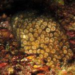 madrepora cuscino 25 150x150 Cladocora caespitosa   Madrepora cuscino