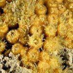madrepora cuscino 36 150x150 Cladocora caespitosa   Madrepora cuscino