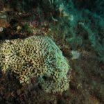 madrepora cuscino 38 150x150 Cladocora caespitosa   Madrepora cuscino