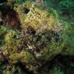 madrepora cuscino 58 150x150 Cladocora caespitosa   Madrepora cuscino