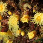 madrepora gialla leptopsammia 106 150x150 Leptopsammia pruvoti   Madrepora gialla leptopsammia