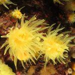 madrepora gialla leptopsammia 109 150x150 Leptopsammia pruvoti   Madrepora gialla leptopsammia