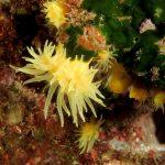 madrepora gialla leptopsammia 110 150x150 Leptopsammia pruvoti   Madrepora gialla leptopsammia